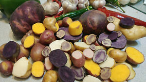 True Potato Seeds 60 seeds Organic TPS Purple Red Yellow Color Mix Potato Berry