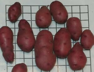 Unique 60 TPS True Potato Seeds Red mix Specialty Potatoes Organic grown in USA