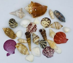 Seashell Collection Vintage Shell Lot Nautical Beach Decor NC FL Nice Mix