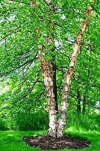 Betula nigra RIVER BIRCH Tree Start plant not Seeds