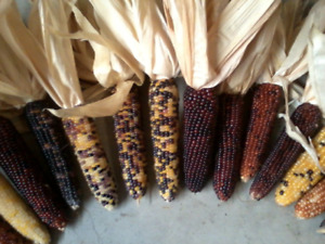 20 Ears of Mini Indian Corn Measuring length of 4quot; to 5quot; FREE SHIPPING $19.95