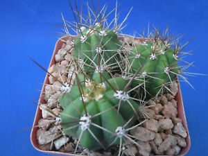 Tcereus Echinopsis terscheckii Cactus Plant in 6 Pots 4 Tall BLOWOUT PRICE $14.99