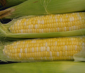 100ea-1lb USDA Organic Double Standard heirloom Bicolor sweet Corn non-GMO seeds