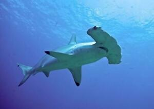 HAMMERHEAD SHARK GLOSSY POSTER PICTURE PHOTO PRINT flat ocean school 4750