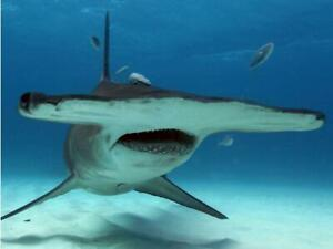 HAMMERHEAD SHARK GLOSSY POSTER PICTURE PHOTO PRINT flat ocean school 4754