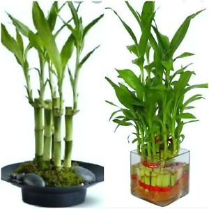 7 Lucky Bamboo Plant 4quot; Stalks Feng Shui GIFT LIVE PLANT Free Shipping