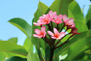 Mystery Color FL Professionaly Grown Plumeria Cutting 7