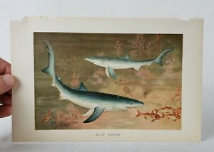 Chromolithograph Of Blue Sharks By Pierre Jacques Smit Royal Natural History $48.00