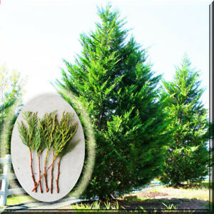 20 Cypress Conifer Leyland Cypress Tree Live Plant 8quot; Cutting for Pre Rooting