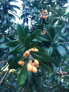 ORGANIC Japanese Plum/ Loquat Tree (Eriobotrya japonica)  EStablished 1-2ft Tall