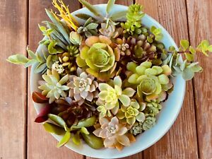 15 Different Assorted Succulent Cuttings Rosette Assorted Varieties