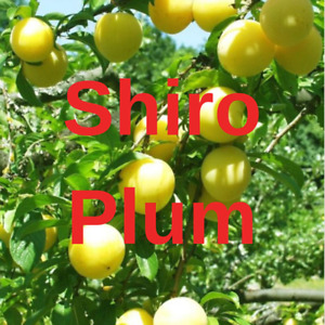 2  SHIRO PLUM YELLOW FRUIT TREE Cutting Rooting Grafting Scion SHIRO PLUM 10-12""