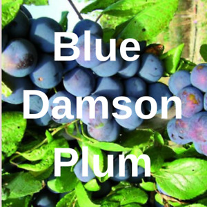 2 Blue Damson Plum FRUIT TREE Cutting Rooting Grafting Scion BLUE DAMSON  10-12""