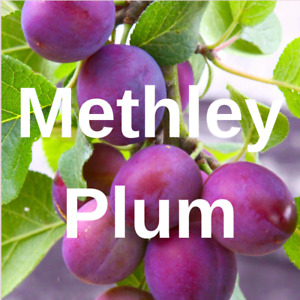 2 Methley PLUM FRUIT TREE Cutting Rooting Grafting Scion METHLEY  PLUM    10-12""