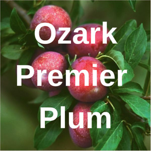 6 + OZARK PREMIER PLUM FRUIT TREE Cutting Rooting Grafting Scion PLUM    10-12""