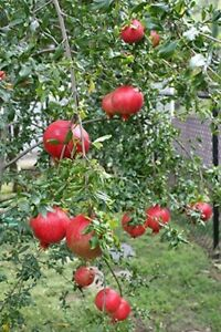 LIVE PLANT SEEDLING POMEGRANATE FRUIT Tree Rooted 3-8