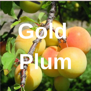 3  Gold PLUM YELLOW FRUIT TREE Cutting Rooting Grafting Scion GOLD PLUM 10-12""