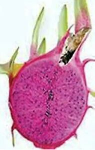 "One 8 to 10"" Dragon Fruit Cutting Condor Variety, Bright Purple Red Flesh Sweet"