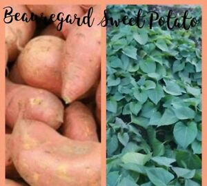 20 Beauregard Sweet Potato Slips Plants Vine Organic Non-GMO Vegetable