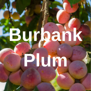 4 + Burbank Plum FRUIT TREE Cutting Rooting Grafting Scion BURBANK  10-12 INCHES
