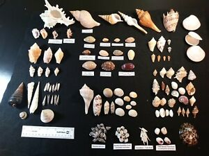 Large Seashells Collection Lot 100 Shells Cowrie, Murex, Volute