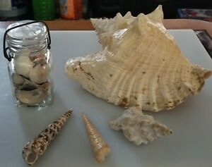 Conch Shell Lot