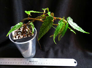Begonia taiwaniana albo-maculata, a hardy species (Last one for now)