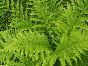 LADY FERN 1025 SPORES (SEEDS*) FILIX FEMINA, COLD HARDY, LARGE UP TO 3' TALL