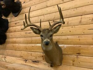 Shoulder Mount 10 Point White Tail Deer Real Antler Buck Doe Taxidermy WD29