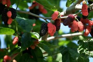 Dwarf Everbearing Mulberry get fruit right away Live Plant Free shipping