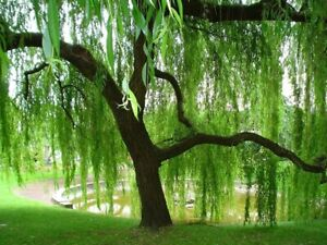 Weeping Willow cuttings unrooted 10