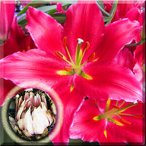 3 Lily Bulbs Oriental Bacardi Lily Live Plant Large Bulb Bloom in Summer $8.18