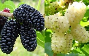 6 White and 6 Black Mulberry tree cuttings unrooted 12