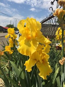 Lot 5 Iris Bulbs All Colors Are Different see Pics