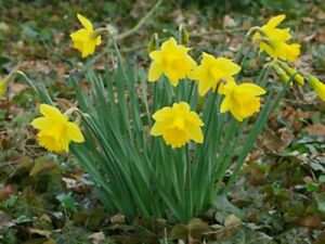 Wild Daffodil 50 Bulbs Trumpet Buttercup Lent Lily NARCISSUS PSEUDONARCISSUS $25.00