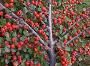 Rockspray Cotoneaster, Cotoneaster horizontalis, Seeds (Hardy Showy Fall Color)