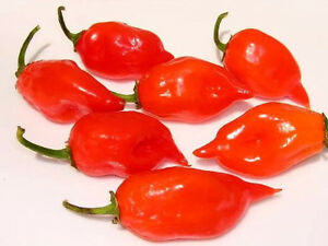 50 HOT RED HABANERO PEPPER Capsicum Chinense Spicy Vegetable Seeds *Flat Ship