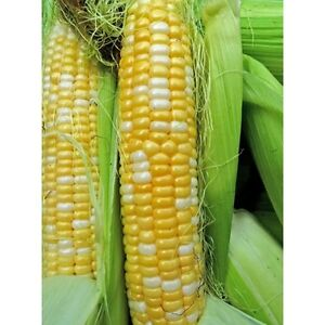 Hybrid sweet corn seed, G90,Golden Cross, Kandy Korn, select variety