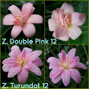 12+12 Rain Lily Bulbs Zephyranthes Double Pink + Turandot Fairy Lily Flower Size