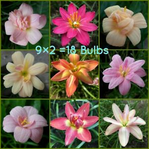 9 x 2 = 18 Double-Flowered Rain Lily Bulbs Zephyranthes Fairy Lily Flower Size