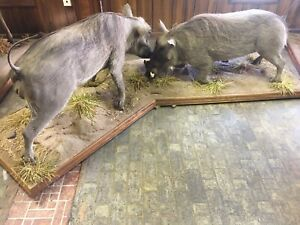 2 African Wart Hog Life Size Taxidermy Mounts South Africa
