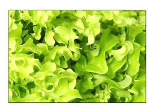 Salad Bowl Lettuce Seeds | NON-GMO | Fresh Garden Seeds