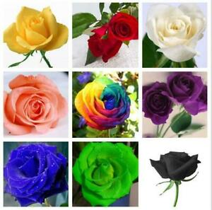 100Pcs Colorful Rainbow Rose Flower Seeds Multi-Color Rose Home Garden Plant