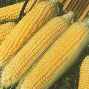 Kandy Korn Hybrid Yellow Sweet Corn Seed Treated