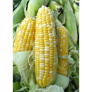 Serendipity Triple Sweet Bicolor Hybrid Sweet Corn Treated Seeds