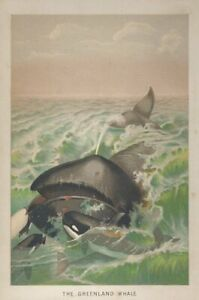 CHROMOLITHOGRAPH  The Greenland Whale 1895 $30.00