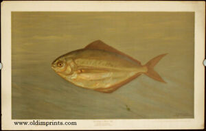 CHROMOLITHOGRAPHS FISHES OF  Dollar or Butter Fish Rhombus triacanthus 1898 $200.00