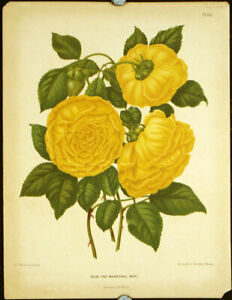 CHROMOLITHOGRAPH NETHERLANDS  Rose the Marechal Niel 1879 $65.00