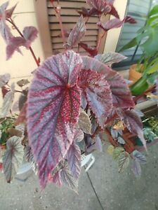 Begonia pink cane Mallet quot;Maurice Ameyquot; rare One 2 node cutting for propagation