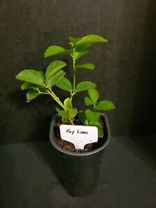 Key Lime Trees Citrus aurantiifolia starter Rooted 🌳